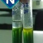 Figura 2 - OF-Glicose após 72 horas de incubação